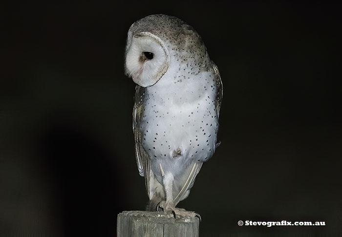 Eastern Barn Owl - Tyto alba - Stevografix