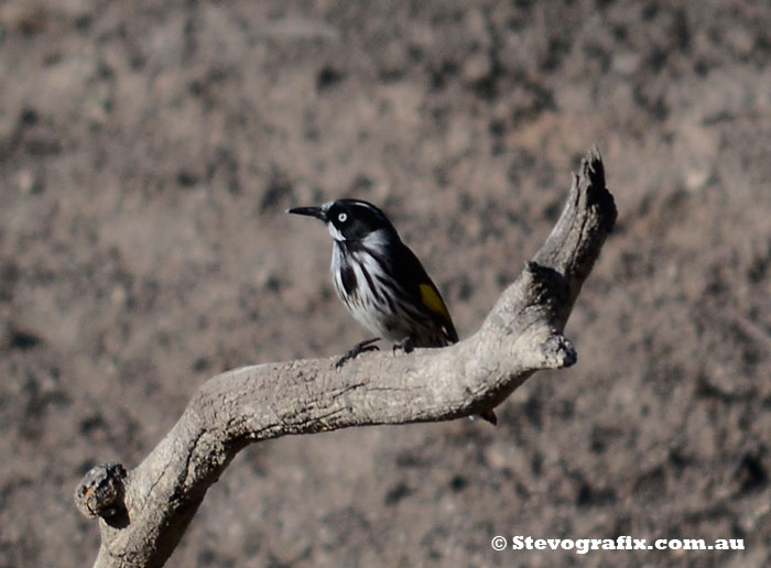New Holland Honeyeater - Phylidonyris novaehollandiae at Little Desert National Park, Vic